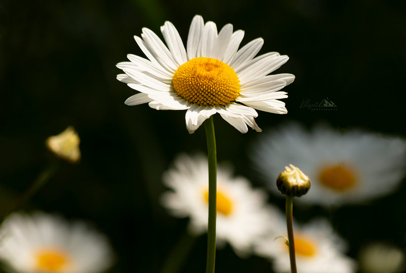 "<img src=""daisy.jpg"" alt=""a wild daisy reaches to the sky as daisies in the background sway in the summer breeze"">  height=""300"" width=""300"""