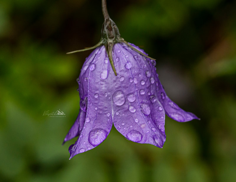"<img src=""purple.jpg"" alt=""a tiny purple Harebell bows under the weight of water droplets from a recent rain"">  height=""300"" width=""300"""